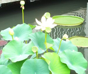 White Water Lillies.jpg